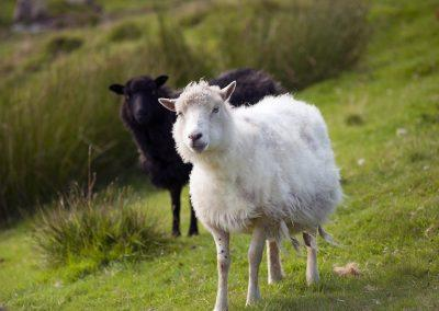 Får - rejser til Færøerne