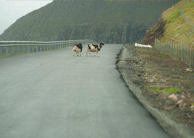 Får på vejen - rejser til Færøerne