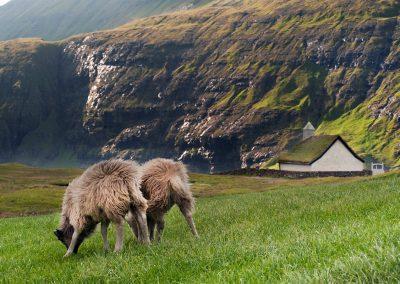 Får ved Saksun på kør-selv ferie og grupperejse til Færøerne