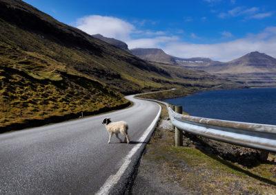 Vær altid opmærksom på får og lam på vejen på kør-selv ferie, bilferie og grupperejser med FÆRØERNEREJSER