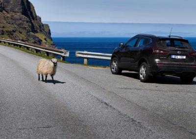 Klassisk syn med nysgerrige får på kør-selv ferie, bilferie og grupperejser med FÆRØERNEREJSER